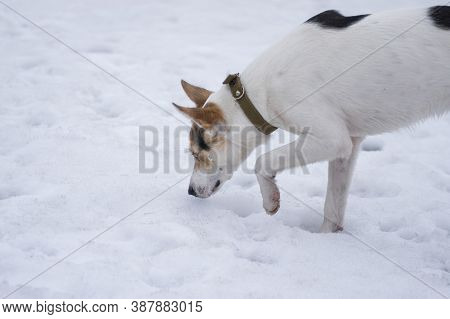 Portrait Of White Cross-breed Of Hunting And Northern Dog Seeking Field Mouse Hole On The Snow Cover