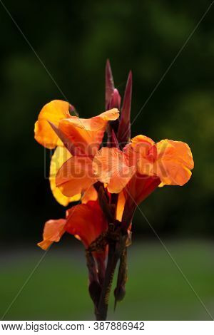 Beautiful Gladiolus Blossom In The Garden , Close Up,