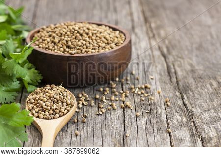 Coriander Seeds In Wooden Spoon And Bowl With Fresh Cilantro Leaves On Wooden Table, ( Coriandrum Sa