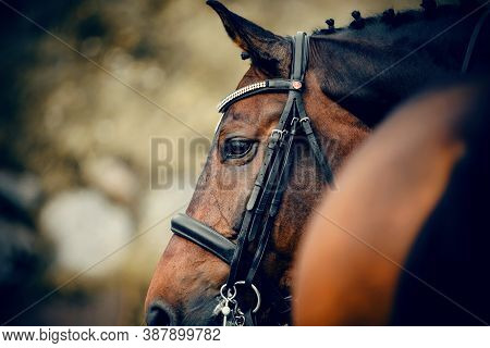 Equestrian Sport. Portrait Sports Stallion In The Double Bridle. Horse Muzzle Close Up. Dressage Of