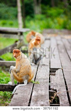 Proboscis monkeys on Borneo island in Malaysia