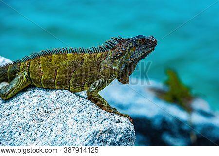 Green Iguana, Also Known As The American Iguana, Herbivorous Species Of Lizard Of The Genus Iguana