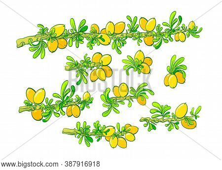 Argan Set. Vector Color Plant, Branch, Nut, Green Leaves. Isolated Collection. Green Illustration On