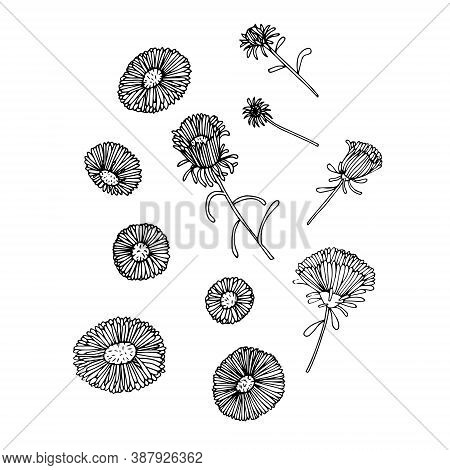 Monochrome Aster On White Ink Hand Drawn Sketch Design Element Stock Vector Illustration For Web, Fo