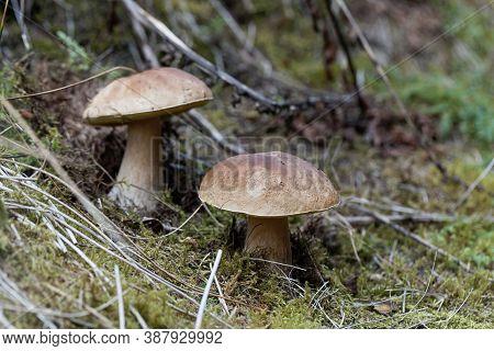 Cep Fungus, Boletus Edulis, On A Forest Floor.