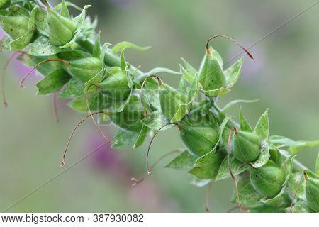 Fruits Of A Common Foxclove, Digitalis Purpurea