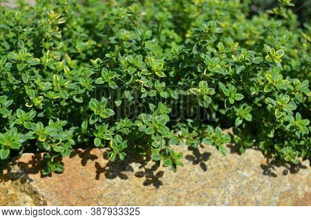 Lemon Thyme Or The Citrus Thyme - Fragrant Perennial Herb With Aroma To That Of Lemon. A Macro Image