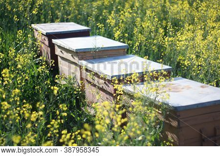 Beehives In A Rapeseed Field - Close Up - Beehives In Nature