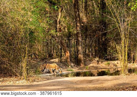 Wild Female Bengal Tiger Quenching Her Thirst From Waterhole In Morning Safari At Bandhavgarh Nation
