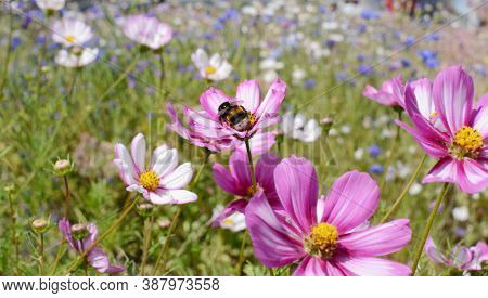 Bumble Bee Taking Nectar From Colourful Cosmos Peppermint Rock Flowers In A Summer Flower Garden