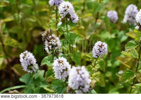 Honeybee Taking Nectar From White Flowers Of A Mint Plant In A Herb Garden