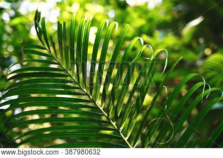 Palm Tree Leaves. Tropical Forest Natural. Green Leaves.