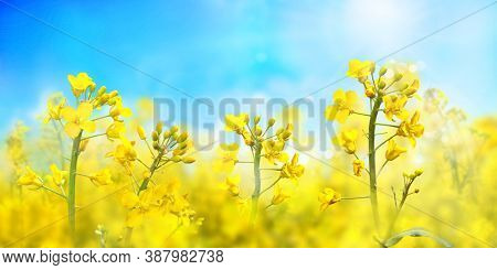 Agricultural field with rapeseed plants. Oilseed, canola, colza. Blooming canola in strong sunlight early morning. Nature background. Macro photo.