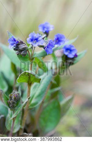 Lungwort Or Pulmonaria Blue Ensign In Flower, Pulmonaria Angustifolia Plant, Uk