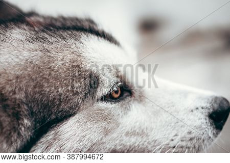 A Female Malamute With Beautiful Intelligent Brown Eyes. Portrait Of A Charming Fluffy Gray-white Al