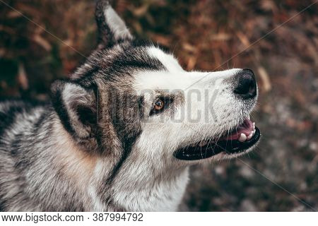 Malamute With Beautiful Intelligent Brown Eyes On A Background Of Yellow Autumn Leaves. Portrait Of