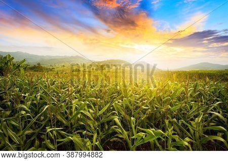 Corn Field. Beautiful Morning Sunrise Over The Corn Field