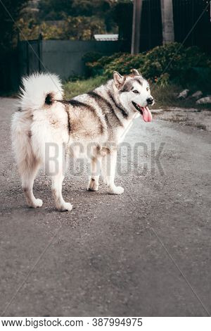 Grey Fluffy Alaskan Malamute Stands And Rests In The Park On The Paved Road. Female Malamute, A Huge