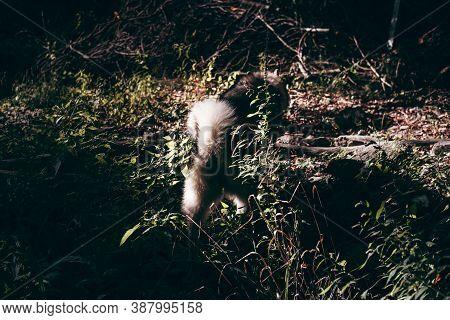 Grey Fluffy Alaskan Malamute Walks In The Park On The Green Grass. Beautiful Huge Friendly Dog Breed