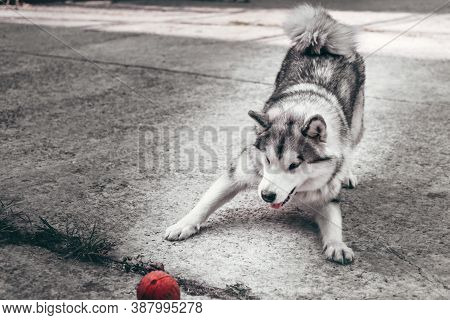 Female Malamute, A Huge Friendly Northern Sled Dog Breed On A Walk. A Large Fluffy Grey - And-white