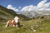 Brown cow resting in meadow, alpine landscape of Hochgall in background, border of Austria, Tyrol/Italy. poster