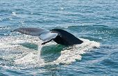 Tail fin of the mighty humpback whale (Megaptera novaeangliae) seen from the boat near Husavik, Iceland poster