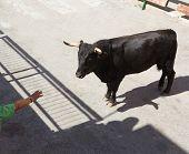 Bull at street traditional fest in Spain running of the bulls poster