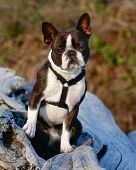 a cute boston terrier with a harness on, sitting on a log poster
