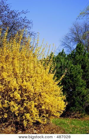 Forsythia And Evergreen
