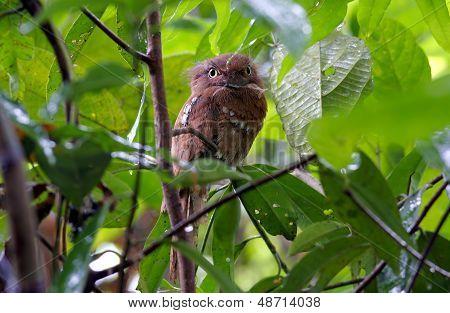 Javan Frogmouth Blyth's Frogmouth Batrachostomus Affinis