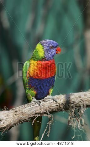 one small colorful lorikeet bird sitting on a branch poster