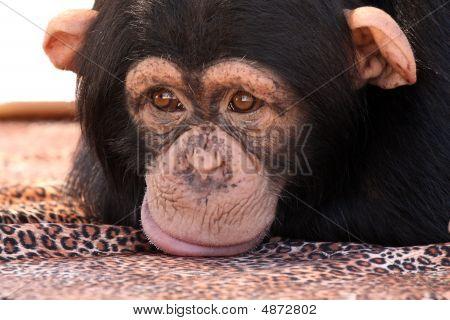 Sulking Chimp