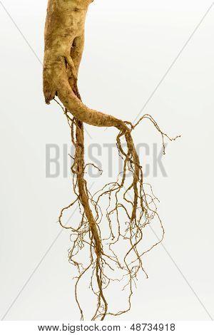 Fresh ginseng root