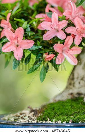 Pink Flowers On A Satsuki Azalea Bonsai Tree