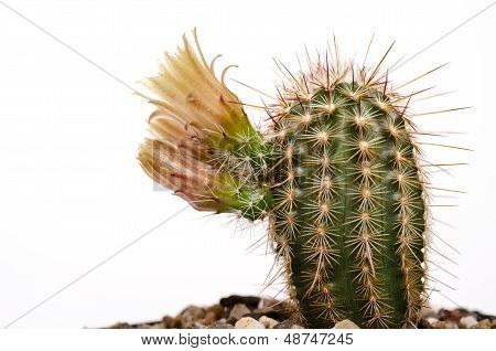 Cactus Echinocereus With Yellow Blossom