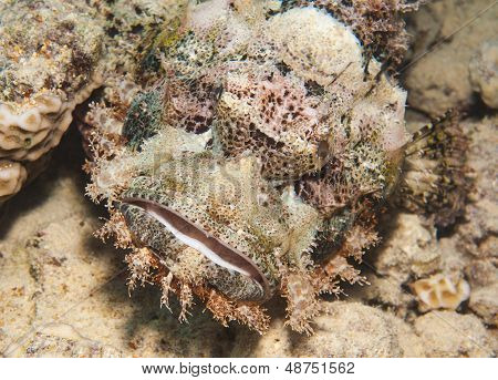 Bearded scorpionfish scorpaenopsis oxycephala on seabed at a tropical coral reef poster