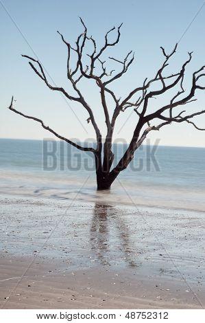 Live Oak Tree dead in the ocean surf