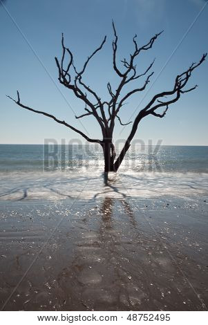Live Oak tree in the Ocean Surf