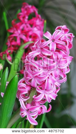Pink Hyacinthus Flowers