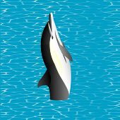 Killer Whale. Killer Whale jumping out from water (Orcinus orca). Killer whales are the dominant predators in the ocean, are easily tamed in captivity poster