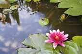 Pink Waterlily Flower Blooming in Backyard Koi Pond with Reflection of Clouds in the Sky poster