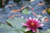 Pink Water Lily Flower Blooming in Pond with Koi Swimming with Abstract Clouds Reflection in Water poster