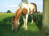 Horse eating grass or grazing in field/ farm in the evening poster