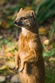 Yellow mongoose standing and watching its territory poster