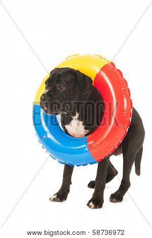 dog on vacation with colorful inflatable swimming tool isolated over white background poster