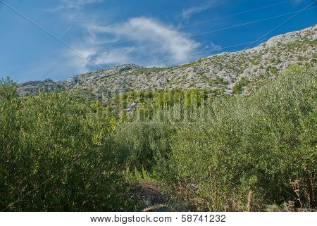 Olive Trees in countryside of Igrane Dalmatia Croatia poster