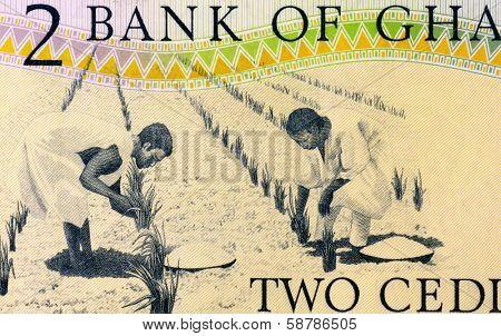 GHANA - CIRCA 1979: Workers Tending Plants on 2 Cedis 1979 Banknote from Ghana.