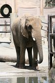 Elephant at the zoo drinking poster