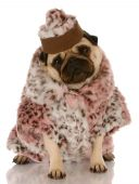 pug wearing leopard print fur coat and hat on white background poster