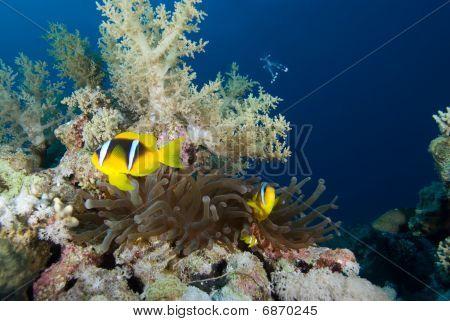 Anémona de mar rojo (amphiprion Bicinctus)